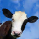 Crazy Cow Simulator FREE
